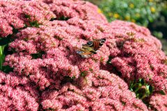 Peacock butterfly sitting on a bright red bush of sedum flowers Royalty Free Stock Photography