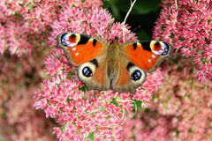 Peacock butterfly sitting on a bright red bush of sedum flowers Stock Photos