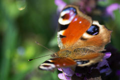 Peacock Butterfly Royalty Free Stock Image