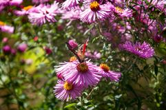Peacock butterfly sitting on the pink chrysanthemum royalty free stock photography