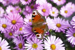 Peacock butterfly sitting on pink flowers. In a natural garden environment. Summer, feelings, nature, colors, beauty royalty free stock photos