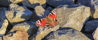 Peacock butterfly sitting on rocks Royalty Free Stock Image