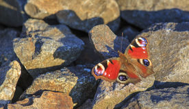 Peacock butterfly sitting on rocks Stock Photos