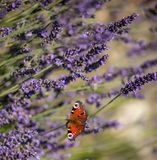 Peacock butterfly sitting on violet lavender stock photo