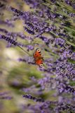 Peacock butterfly sitting on violet lavender royalty free stock photography