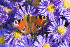 Peacock butterfly violett asters Stock Image