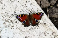 Peacock butterfly sitting on a white stone slab Royalty Free Stock Image