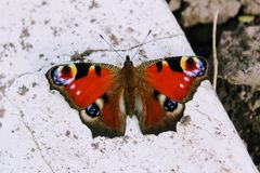 Peacock butterfly sitting on a white stone slab Royalty Free Stock Images