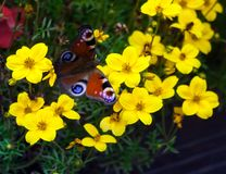 Peacock butterfly sitting on yellow flowers. In the flowerbed in the garden Royalty Free Stock Photos