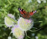 Peacock butterfly on teazel Royalty Free Stock Image