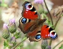 Peacock Butterfly on a Thistle Flower Stock Images
