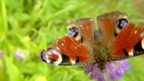 Peacock butterfly on thistle flower. In Germany stock footage