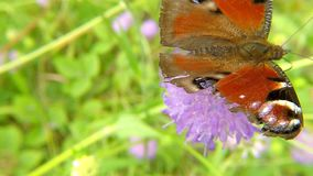 Peacock butterfly on thistle flower. In Germany stock video footage