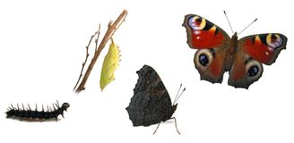 Peacock butterfly transformations Stock Photo
