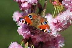 Peacock Butterfly on Cherry Blossom Royalty Free Stock Images