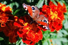 Peacock butterfly (Vanessa io) on tagete flower Royalty Free Stock Image