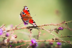 Peacock butterfly on violet flowers Stock Photos