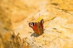 Peacock butterfly on a wall. In sun Stock Photography