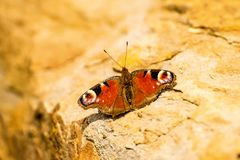 Peacock butterfly on a wall. In sun Royalty Free Stock Photos