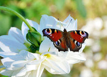 Peacock butterfly on white flower Royalty Free Stock Photos