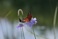Peacock butterfly on wild flower Royalty Free Stock Photography