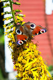 Peacock butterfly on yellow flower Stock Photo