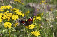 Peacock butterfly on yellow flowers of tansy. Peacock butterfly on a bright yellow flowers of tansy on a beautiful blurred background stock image