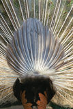 Peacock buttock. The close-up of peacock buttock stock images