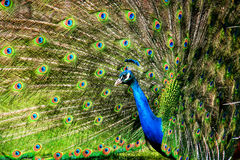 Peacock C Stock Photos