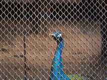 Peacock in the cage Royalty Free Stock Photos