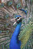 Peacock Calling. Male Peacock, Indian Peafowl (pavo cristatus) calling and in full mating display with tail spread Stock Images