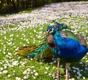 Peacock on camomile field Stock Photos