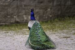 Fancy Peacock showing off it`s tail feathers. Fancy Captive Peacock showing off it`s tail feathers on a path at the zoo royalty free stock photography