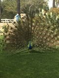 Peacock in Carlsbad Royalty Free Stock Photos