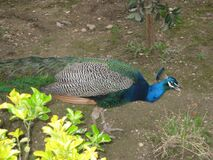peacock-in-the-castle-gardens Stock Photography