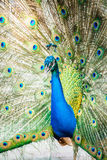 Peacock in chiangmai province Thailand Royalty Free Stock Image