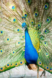 Peacock in chiangmai province Thailand Royalty Free Stock Photography