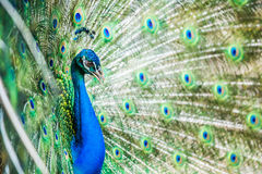 Peacock in chiangmai province Thailand Royalty Free Stock Photos