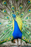 Peacock in chiangmai province Thailand Royalty Free Stock Images