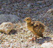 Peacock chick on the rocks Royalty Free Stock Photos