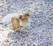 Peacock chick on the rocks Stock Image