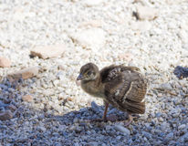 Peacock chick on the rocks Royalty Free Stock Images