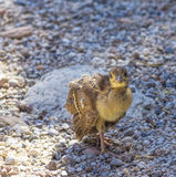 Peacock chick on the rocks Stock Photo