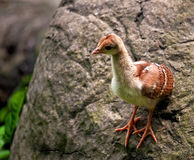 Peacock Chick. A peacock chick standing on the side of a boulder Stock Photo