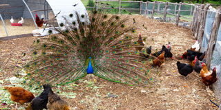 Peacock with chickens Stock Images