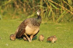 With a peacock chicks. Peacock with chicks walking on the grass Stock Photography