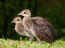 Peacock Chicks Stock Images