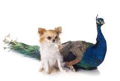 Peacock and chihuahua Royalty Free Stock Image