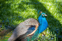 Peacock. In the Chopin`s Park in the spring Royalty Free Stock Photography