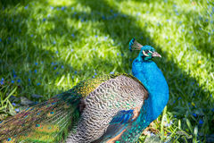 Peacock. In the Chopin`s Park in the spring Royalty Free Stock Photos